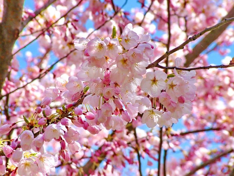 开花蓝色樱桃粉红色天空 库存照片