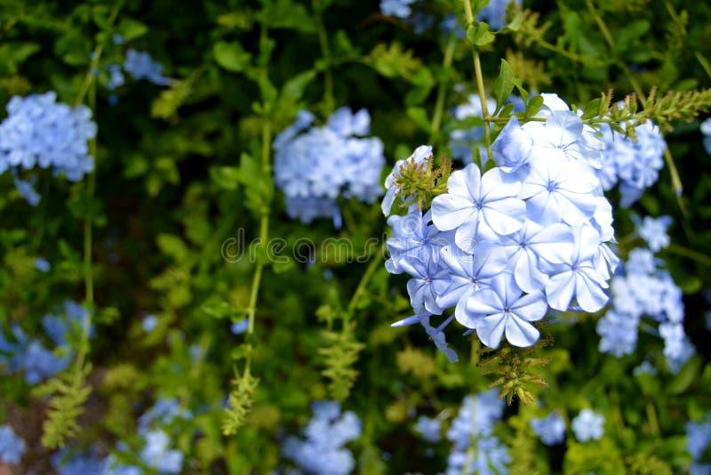 开花蓝色花有其他花背景 库存照片