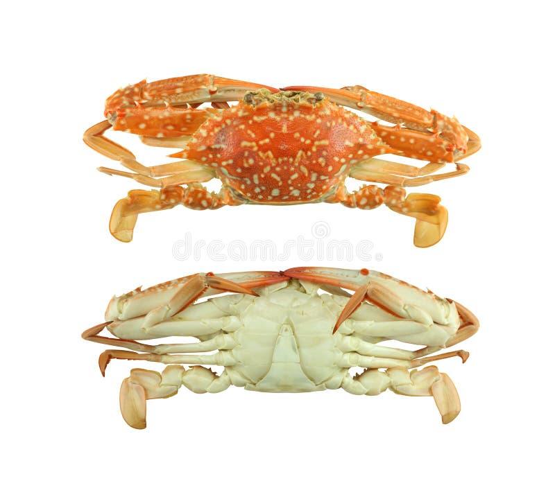 开花螃蟹或Boiled蓝色游泳者螃蟹在白色bac隔绝了 图库摄影