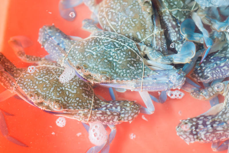 开花螃蟹,青蟹,蓝色游泳者螃蟹 免版税图库摄影