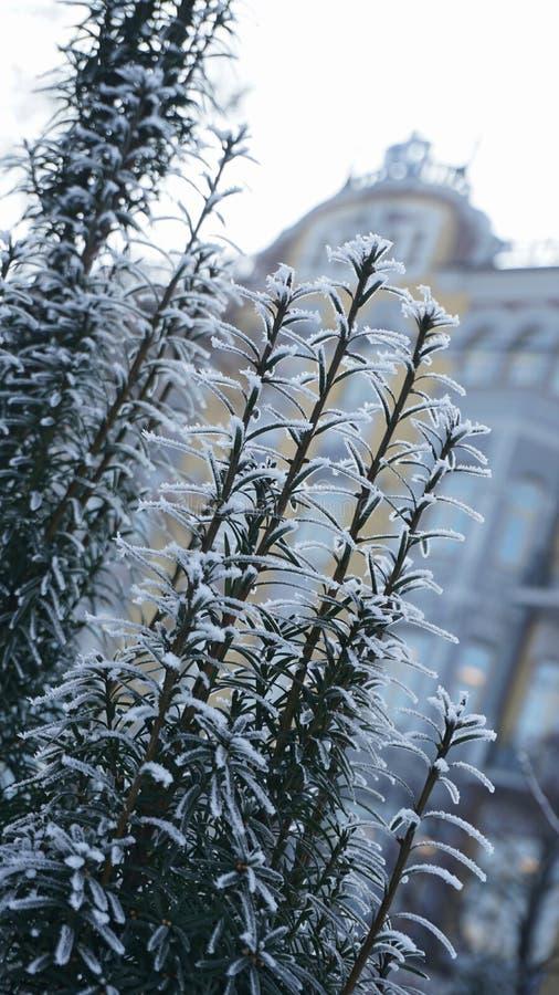 开花被盖的灌木下雪与在背景的被弄脏的大厦 免版税库存照片