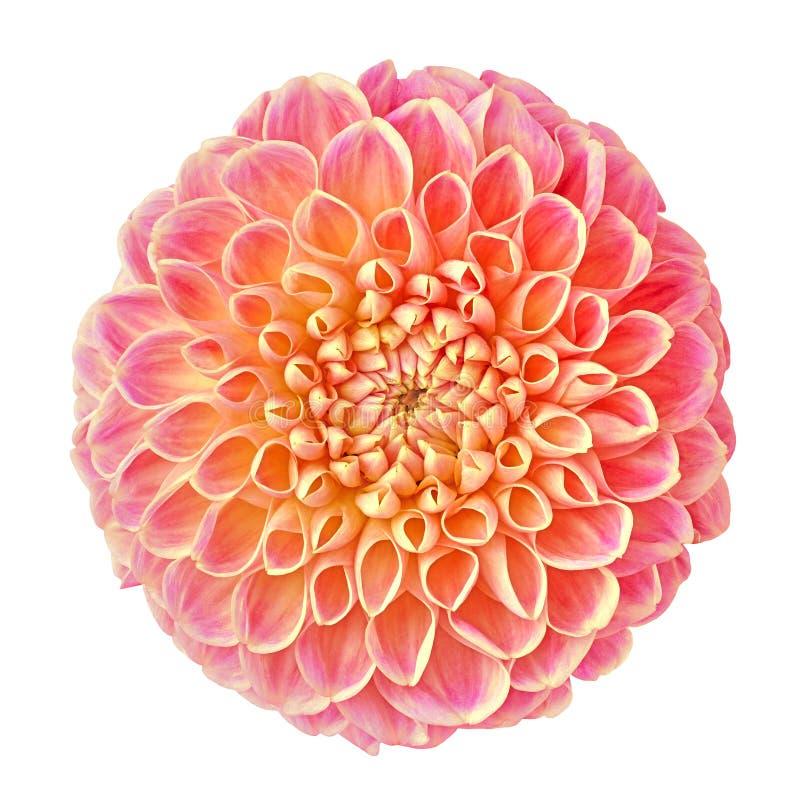开花被隔绝的淡紫色橙黄色大丽花我白色背景的 库存图片