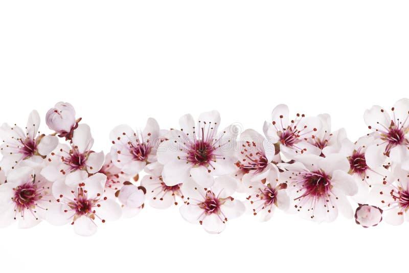 开花边界樱桃 库存图片