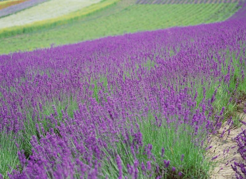 Download 开花通配 库存图片. 图片 包括有 照亮, 紫色, 淡紫色, 通配, 风景, 背包, 五颜六色, 紫罗兰色, 种子 - 300039
