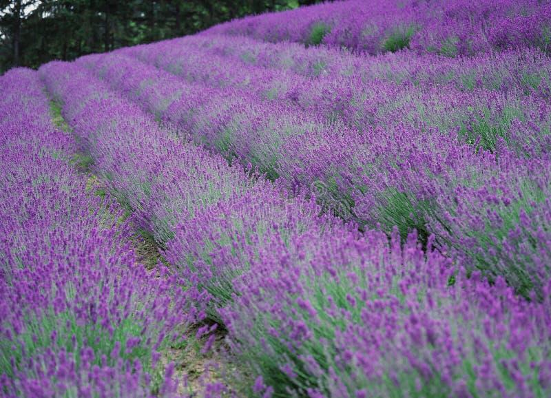 Download 开花通配 库存照片. 图片 包括有 颜色, 紫罗兰色, 照亮, 五颜六色, 庄稼, 室外, 相当, 背包, 种植 - 300040