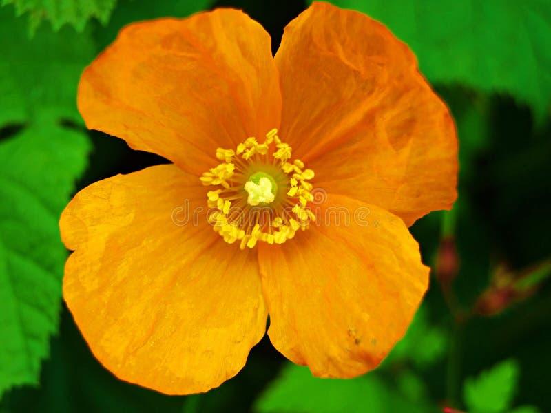 开花,染黄,自然,植物,春天,桔子,绿色,庭院,红色,绽放,宏指令,开花,花,瓣,夏天,花卉,木槿 库存照片