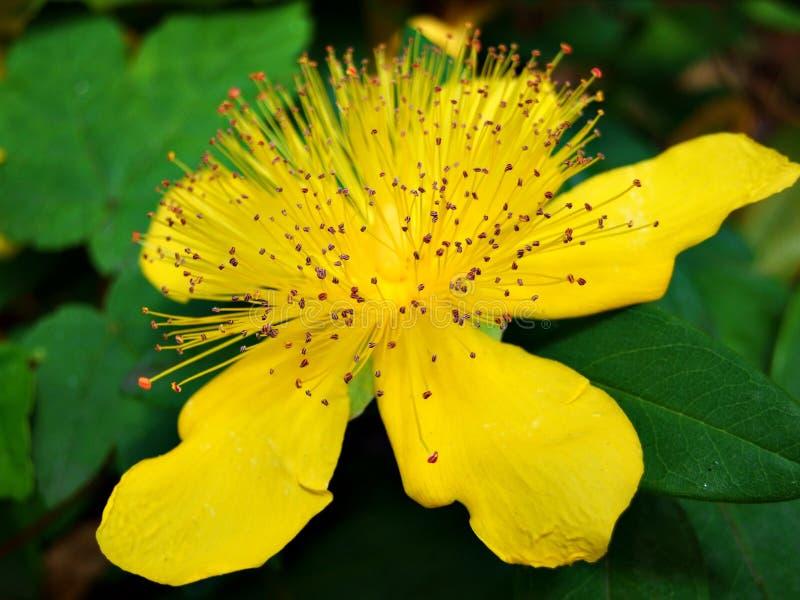开花,染黄,自然,绿色,植物,庭院,花,植物群,桔子,春天,瓣,夏天,秀丽,美丽,宏观,瓣 免版税库存图片