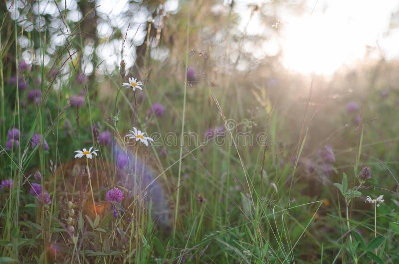 开花晴朗的草甸 库存图片
