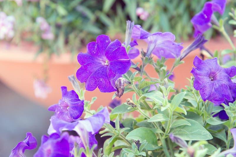 开花紫色喇叭花花 库存图片