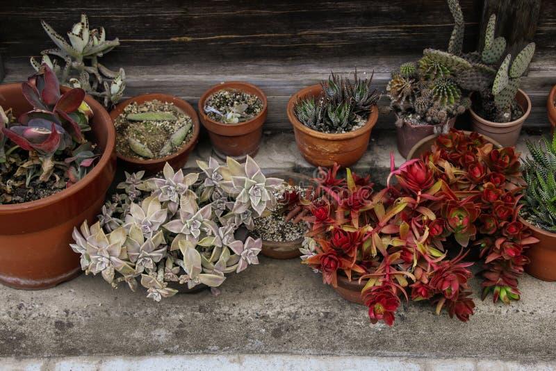 开花Echeveria混合桃红色和绿色,sedum多汁房子植物安排罐 库存照片