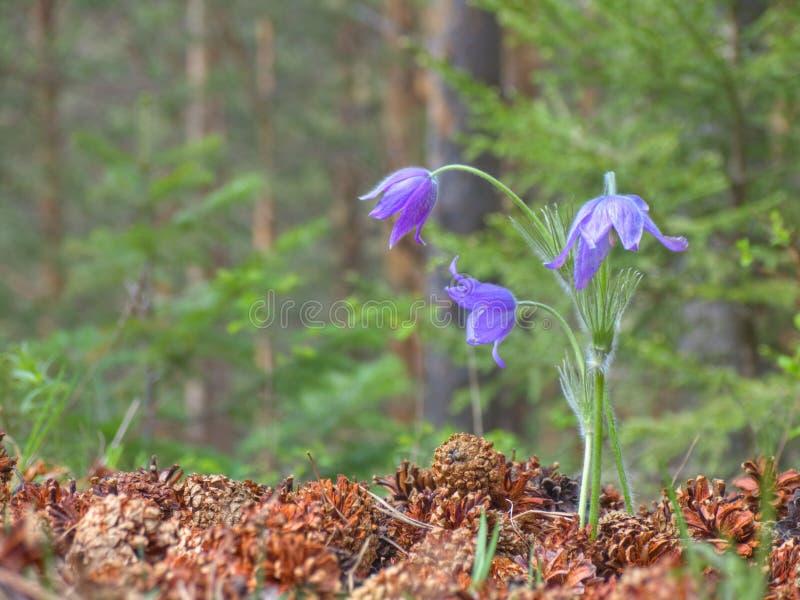 开花fores pinecones三紫罗兰 库存图片