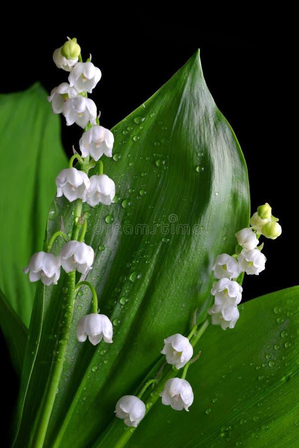 开花lilly与水透明滴的谷铃兰草majalis  库存图片