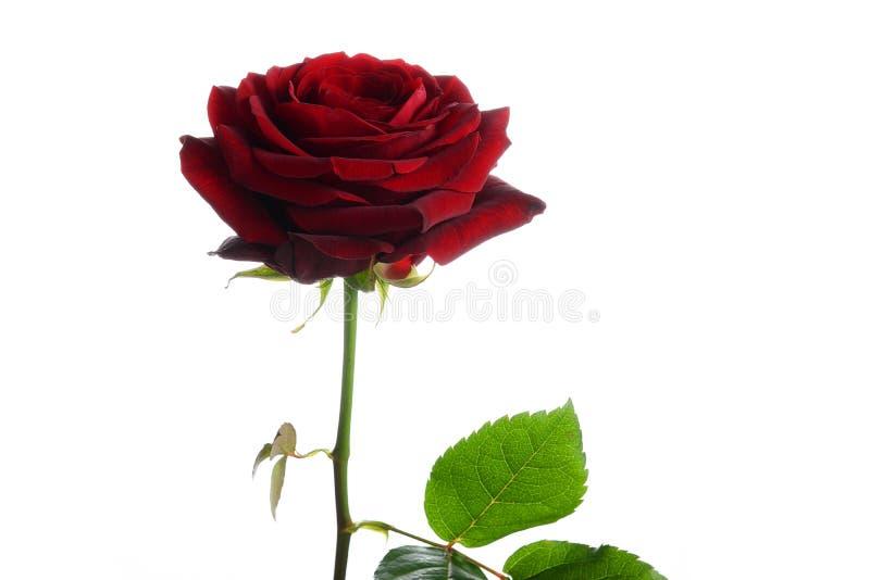 开花Naomi一朵红色玫瑰  库存图片
