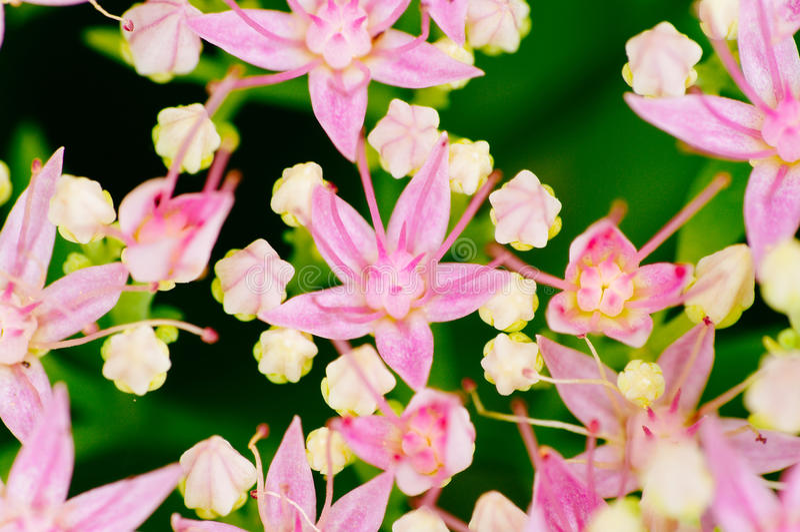 开花Rhodiola的rosea,药用植物特写镜头宏指令射击 库存图片