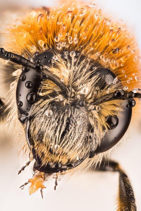 开采的蜂, Andrena 库存图片