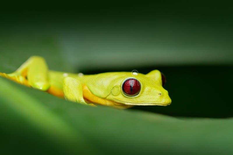 异乎寻常的动物,热带有深红眼睛的密林森林逗人喜爱的两栖动物 书皮底纸青蛙, Agalychnis spurrelli,池蛙开会 库存照片