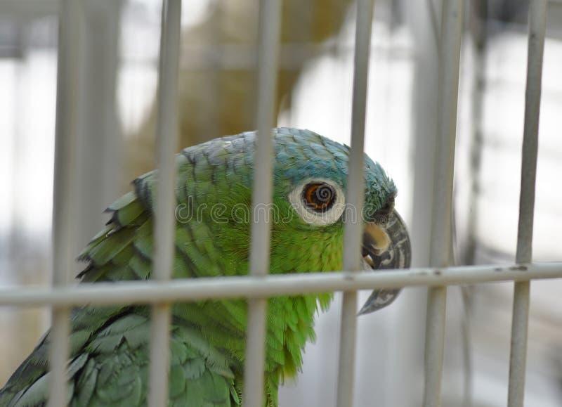 异乎寻常的宠物鹦鹉在门后被锁 库存照片