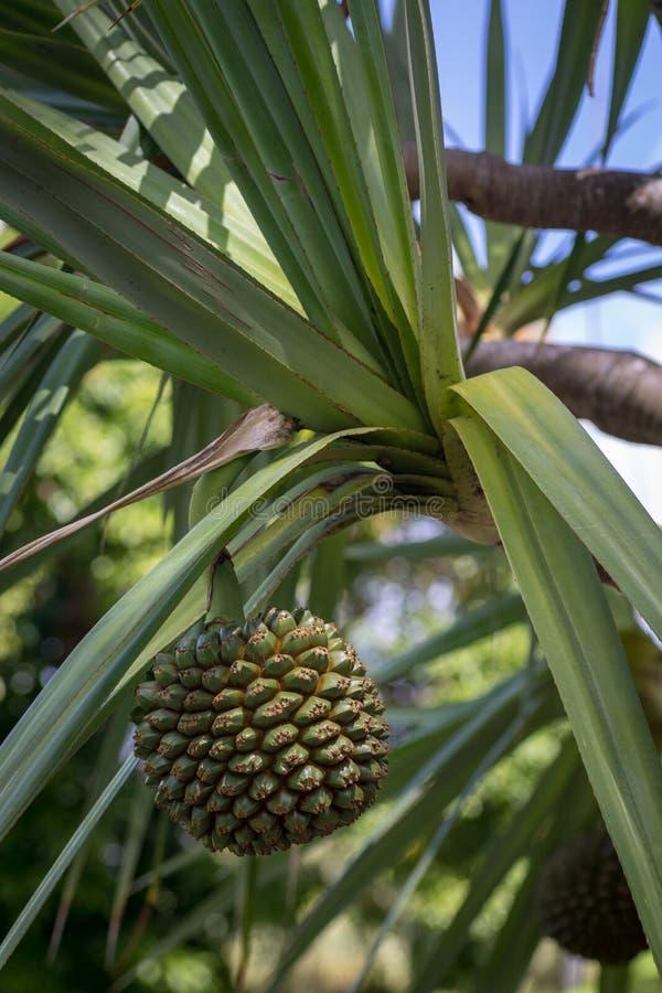 异乎寻常的果子-荣兰生长在树的露兜树utilis 免版税库存图片