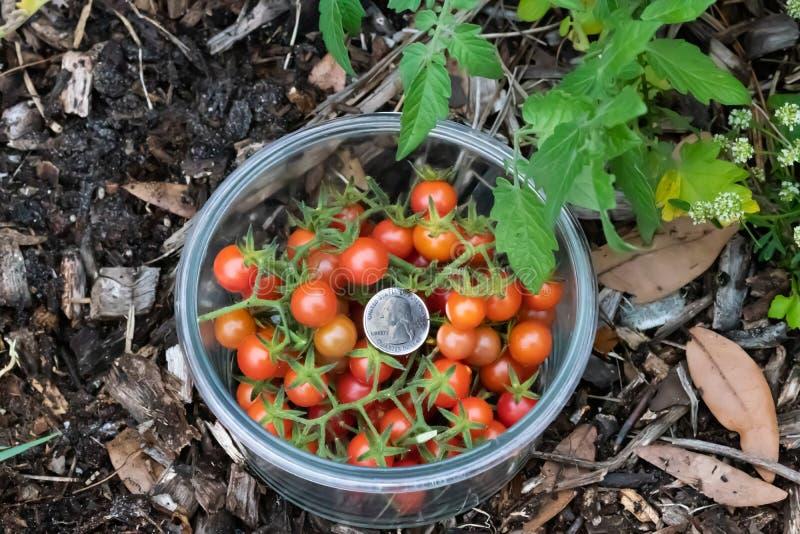 异乎寻常的沼泽地蕃茄 库存图片