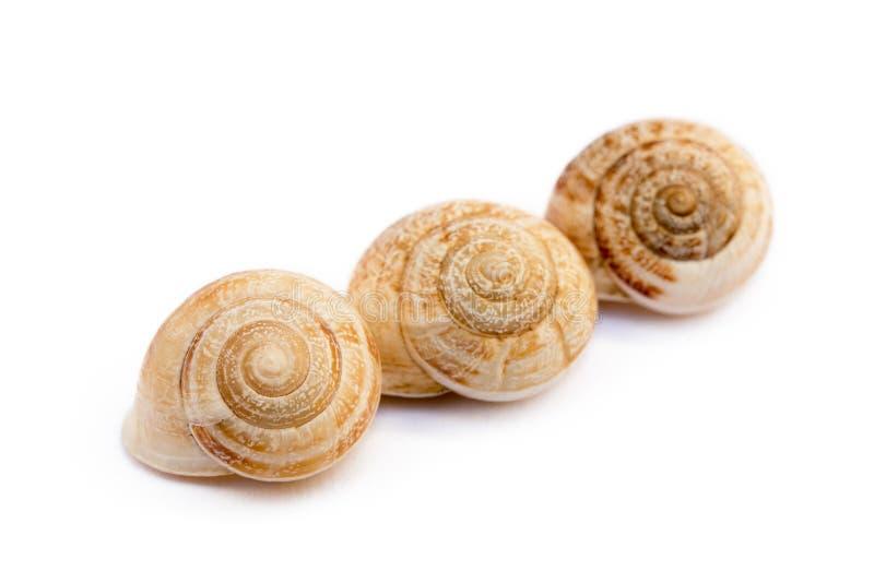 异乎寻常的海洋蜗牛 免版税图库摄影