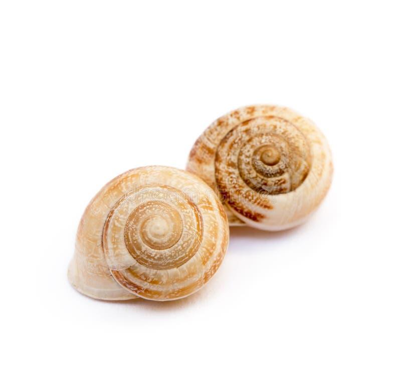 异乎寻常的海洋蜗牛 免版税库存照片