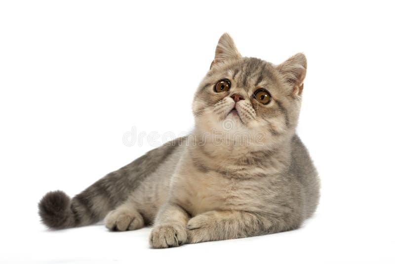 异乎寻常的猫 库存照片