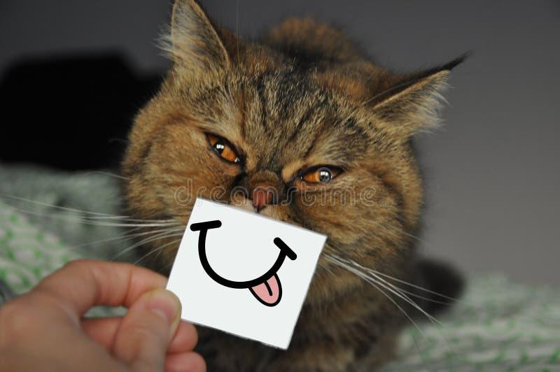 异乎寻常的短发波斯猫 滑稽伸出舌头 图库摄影