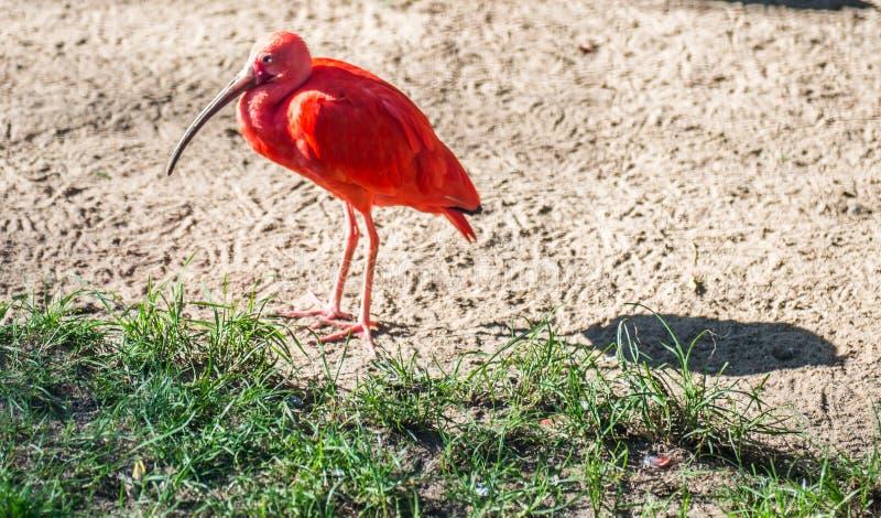 异乎寻常的红色鸟在动物园密林 库存照片