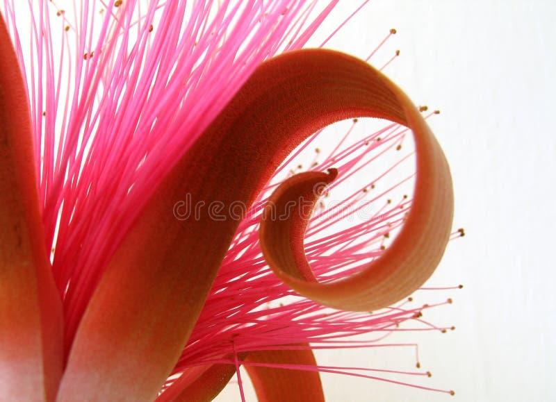 异乎寻常的花粉红色 库存照片