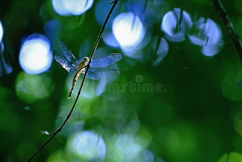 异乎寻常的蜻蜓坐植物在热带雨林里在哥斯达黎加,异乎寻常的冒险,休息在密林的蜻蜓 免版税图库摄影