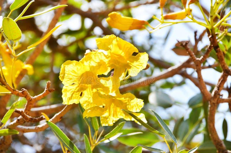 异乎寻常的黄色花在特里凡德琅特里凡得琅,印度,喀拉拉城市庭院里  免版税图库摄影