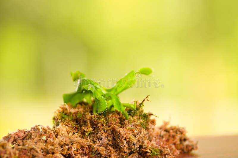 异乎寻常昆虫吃食肉动物的花维纳斯捕蝇器dionaea被种植在木头,青苔下层地面与 免版税库存照片