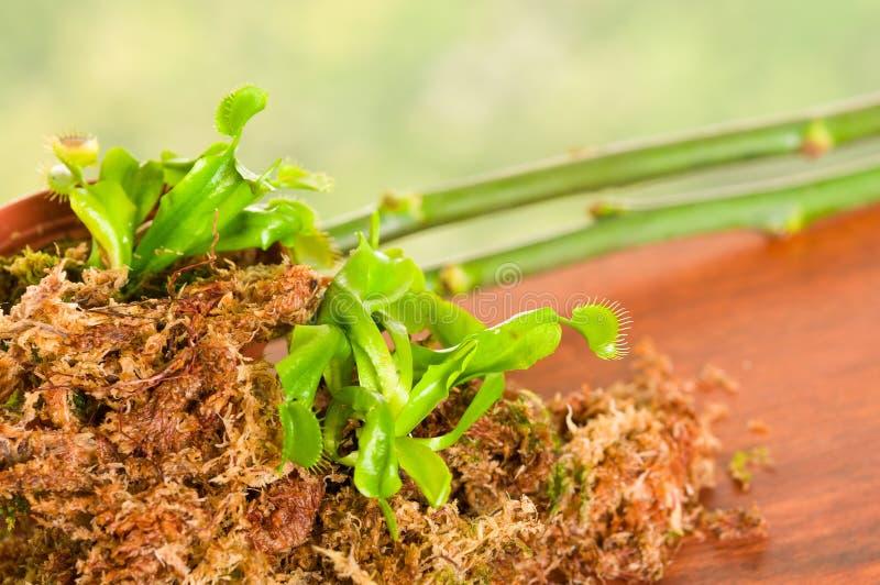 异乎寻常昆虫吃食肉动物的花维纳斯捕蝇器dionaea被种植在木头,青苔下层地面与 免版税库存图片