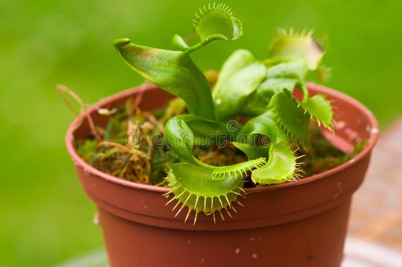 异乎寻常昆虫吃食肉动物的花维纳斯捕蝇器dionaea被种植在黏土plantpot,在被弄脏的背景中 库存照片