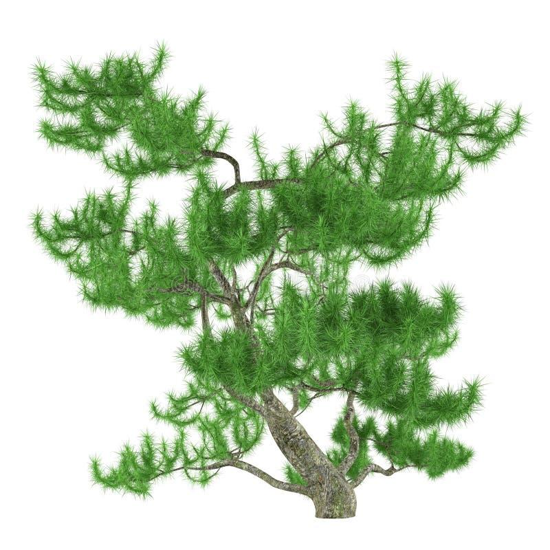 异乎寻常的杉树 库存例证