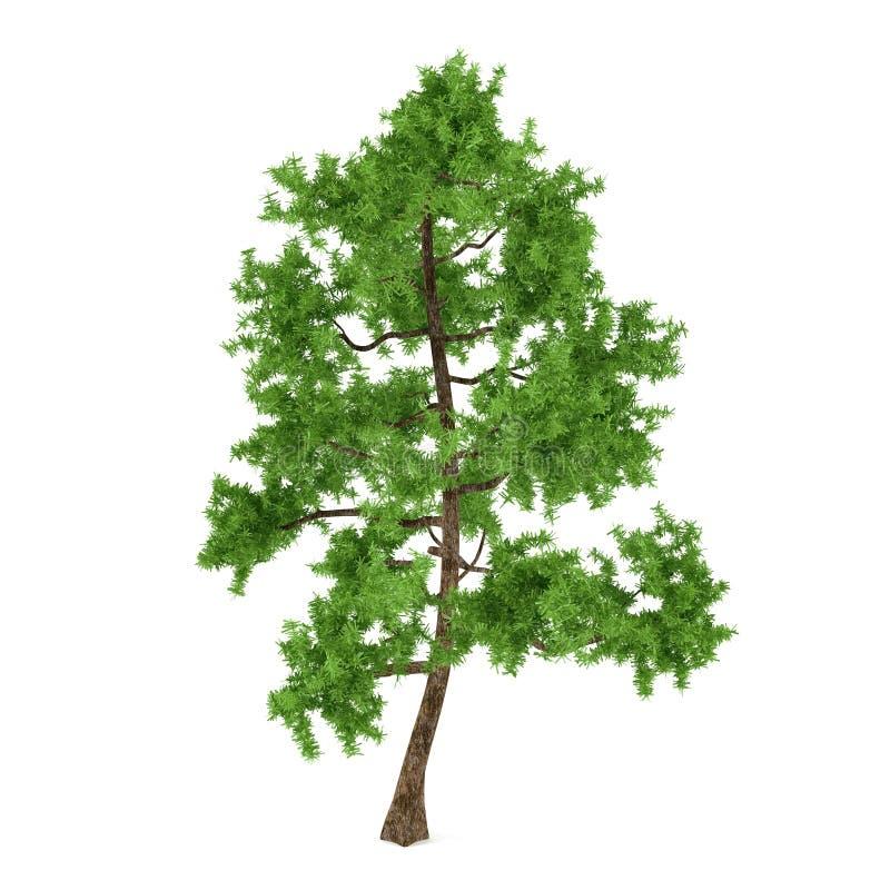 异乎寻常的杉树 向量例证