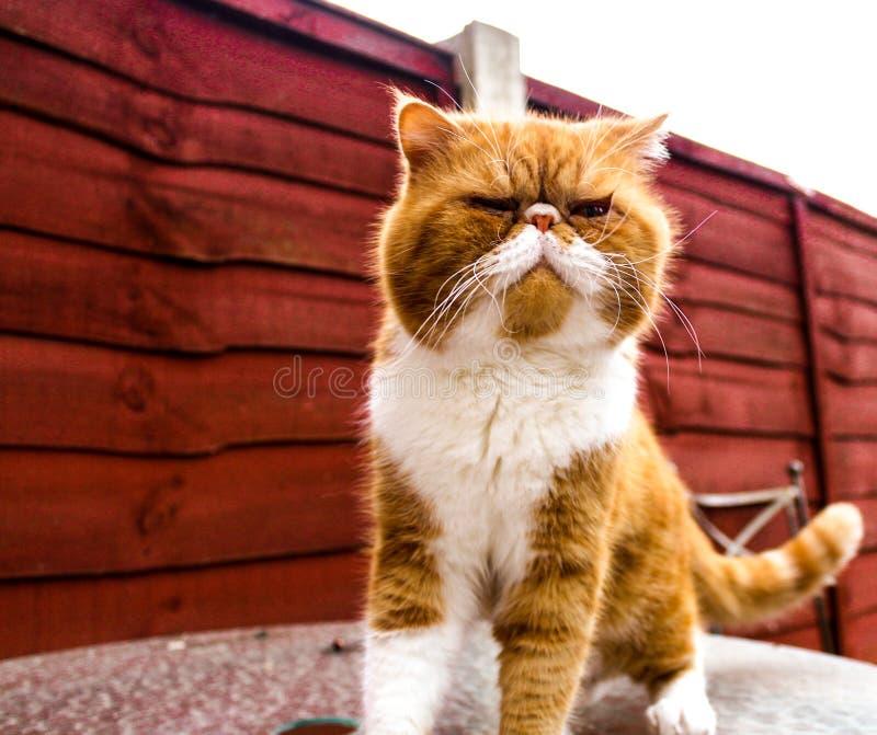 异乎寻常的猫 免版税库存照片