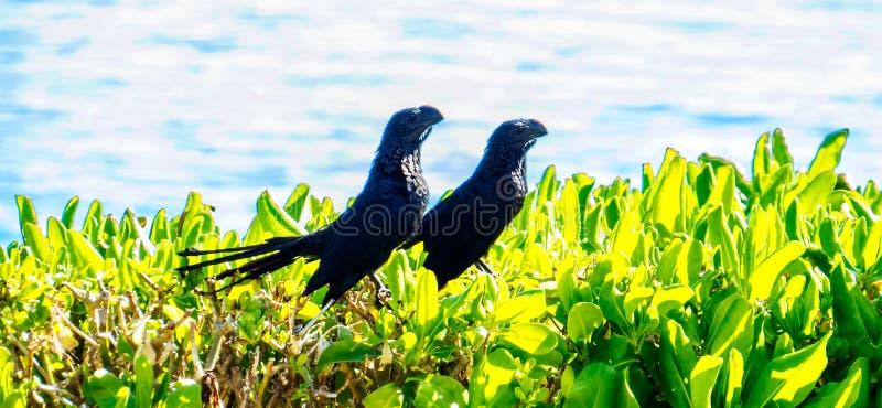 异乎寻常的黑鸟一对逗人喜爱的夫妇  免版税库存照片