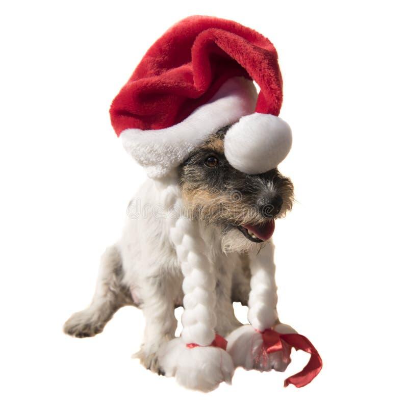 异常和好奇逗人喜爱的圣诞老人项目狗画象 图库摄影