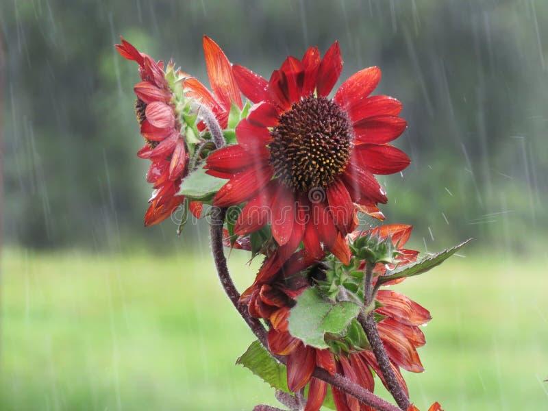 异常的向日葵或向日葵,红色或橙色,在雨中 免版税库存图片