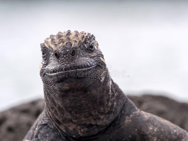 异常的海产鬣蜥蜴的画象,喙cristatus hassi,圣克鲁斯,加拉帕戈斯,厄瓜多尔 免版税库存照片