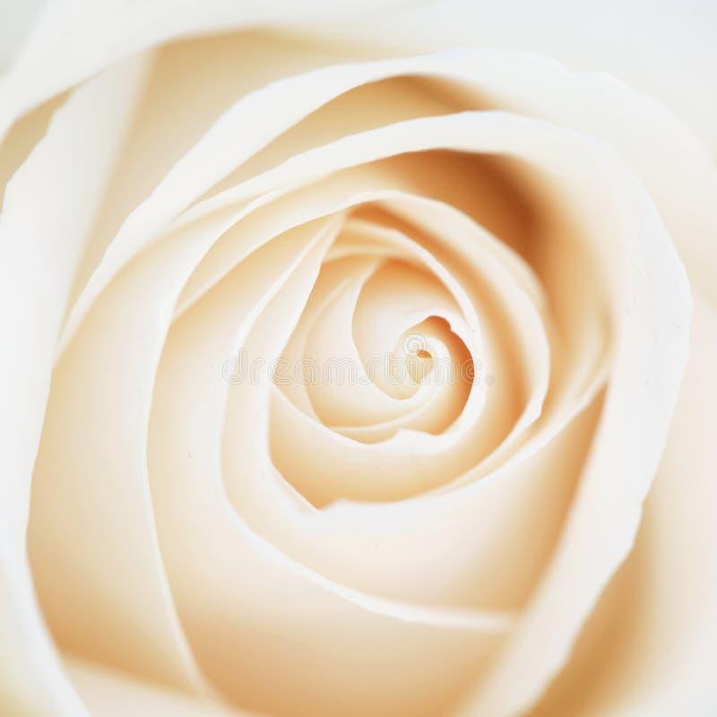 异常的美好的嫩白色玫瑰背景 免版税库存照片