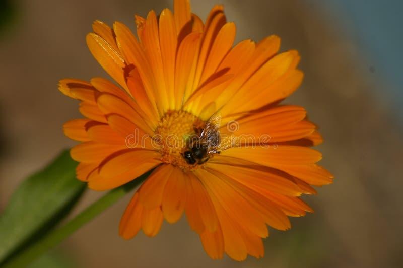 异花受粉橙色花的蜂蜜蜂 免版税图库摄影