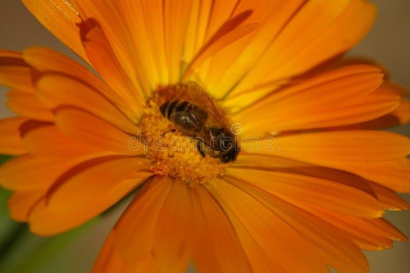 异花受粉橙色花的蜂蜜蜂 图库摄影