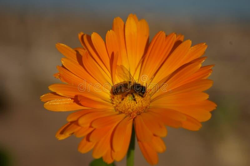 异花受粉橙色花的蜂蜜蜂 免版税库存照片