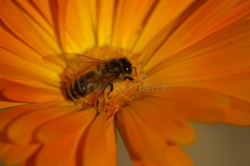异花受粉橙色花的蜂蜜蜂 库存图片
