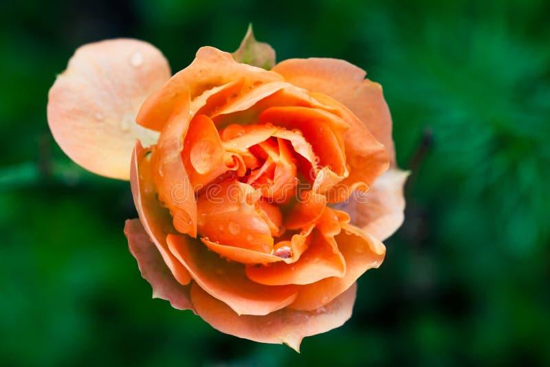 弄湿玫瑰色花宏指令摄影 橙色桃红色颜色 库存照片