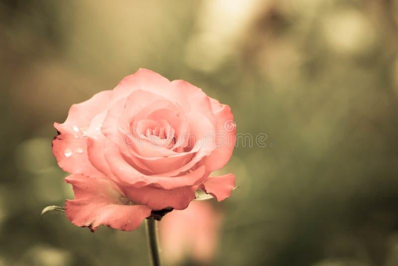弄湿玫瑰色 库存照片