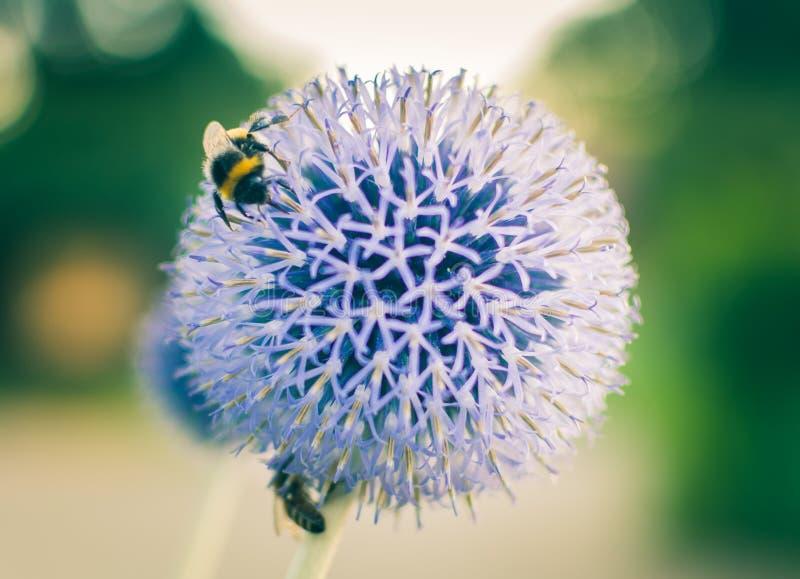 弄糟在一株蓝色地球蓟的蜂 库存照片