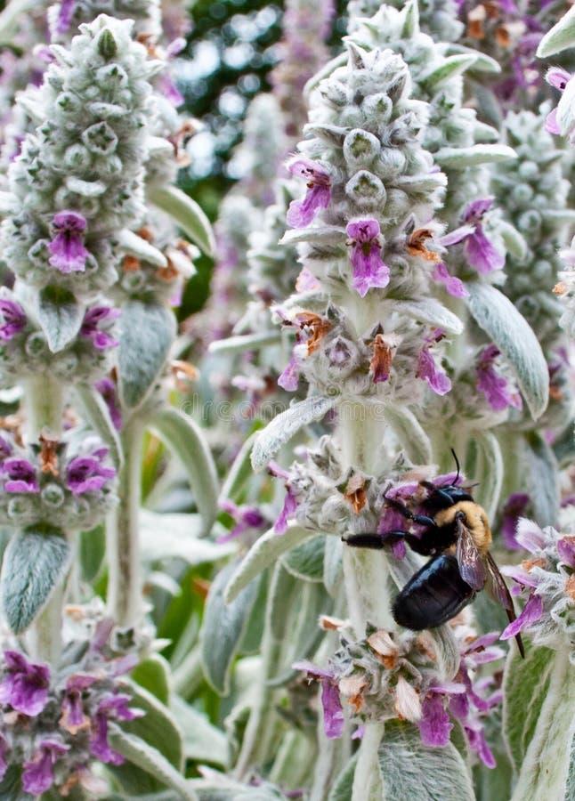 弄糟收集花粉的蜂 免版税库存图片